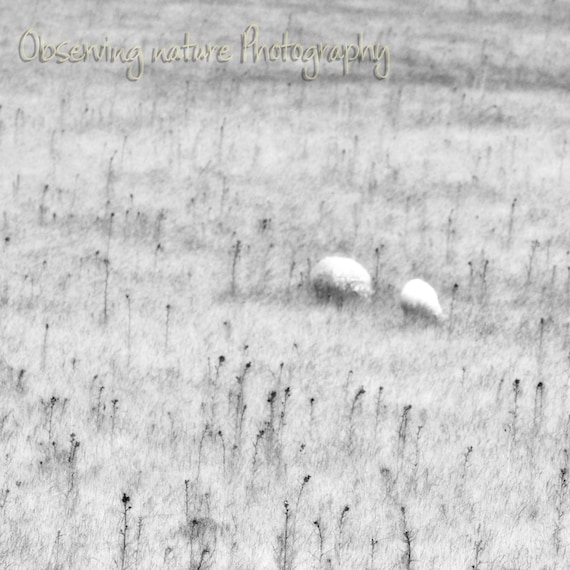 Sheep Fine Art Photography Download