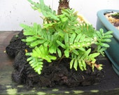 Live resurrection fern, Rare Bonsai
