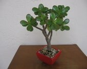 Live wide Leaves Jade Bonsai Crassula spp. Red Diamond pot