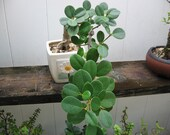 Live Ficus Green Island, microcarpa wide leaves, Bonsai / Free Shipping