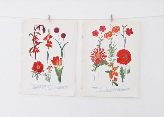 Vintage Botanical  Illustrations - floral prints in reds - old botanical flower drawings