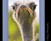 Ostrich with Attitude - Wildlife Photography card - 4x6 Photo - 5x7 Frame Greeting Card Blue