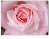 """Raindrop Rose Photo Card - """"May flowers always line your Path"""" - Irish Blessing - Matching Sticker"""
