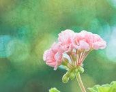 Coral Pink Geranium - 8x8 - Fine Art Photography- Soft Romantic Soothing greens and pinks