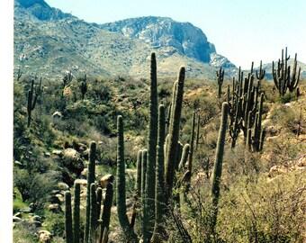 Saguaro Army Photo near Catalia Mountains, Tucson, Arizona