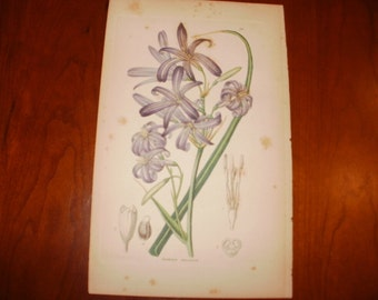 Antique Hand Coloured Print...1854...Ixiolirion...From The Ornamental Flower Garden...Sale...20% off