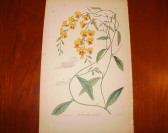 Antique Hand Coloured Print...1854...Chorozema...From The Ornamental Flower Garden...Sale...20% off