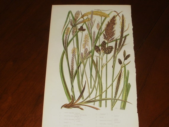 Antique Hand Coloured Print from Flowering Plants by Anne Pratt...1875...Soft Brown Carex