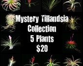 Sale- Mystery/Grab Bag Tillandsia or Air Plant Collection // Home and Garden// Nursery //- 5 plus Plants