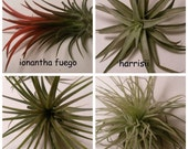Collection of 4 Tillandsias, Air Plants // Home and Garden // Gifts under 20 // Terrarium
