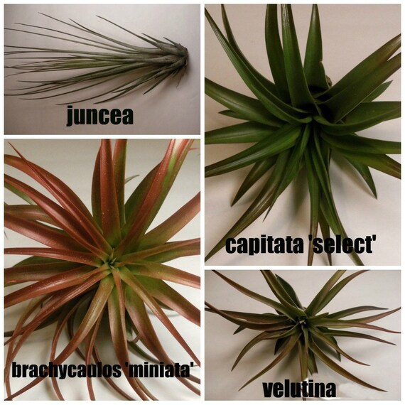 Tillandsia Collection- 4 Medium Air Plants