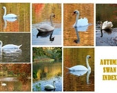 Autumn Swans .  Photo Note Cards . Set of 8 . All Different  .