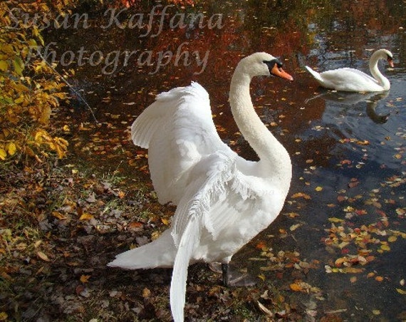 I Love Autumn ... Swan Photography...Wild Life Photography... Bird Photography... Original Fine Photography...