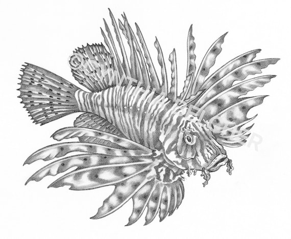 Fishes Pencil Drawing Pencil Drawing of a Lionfish