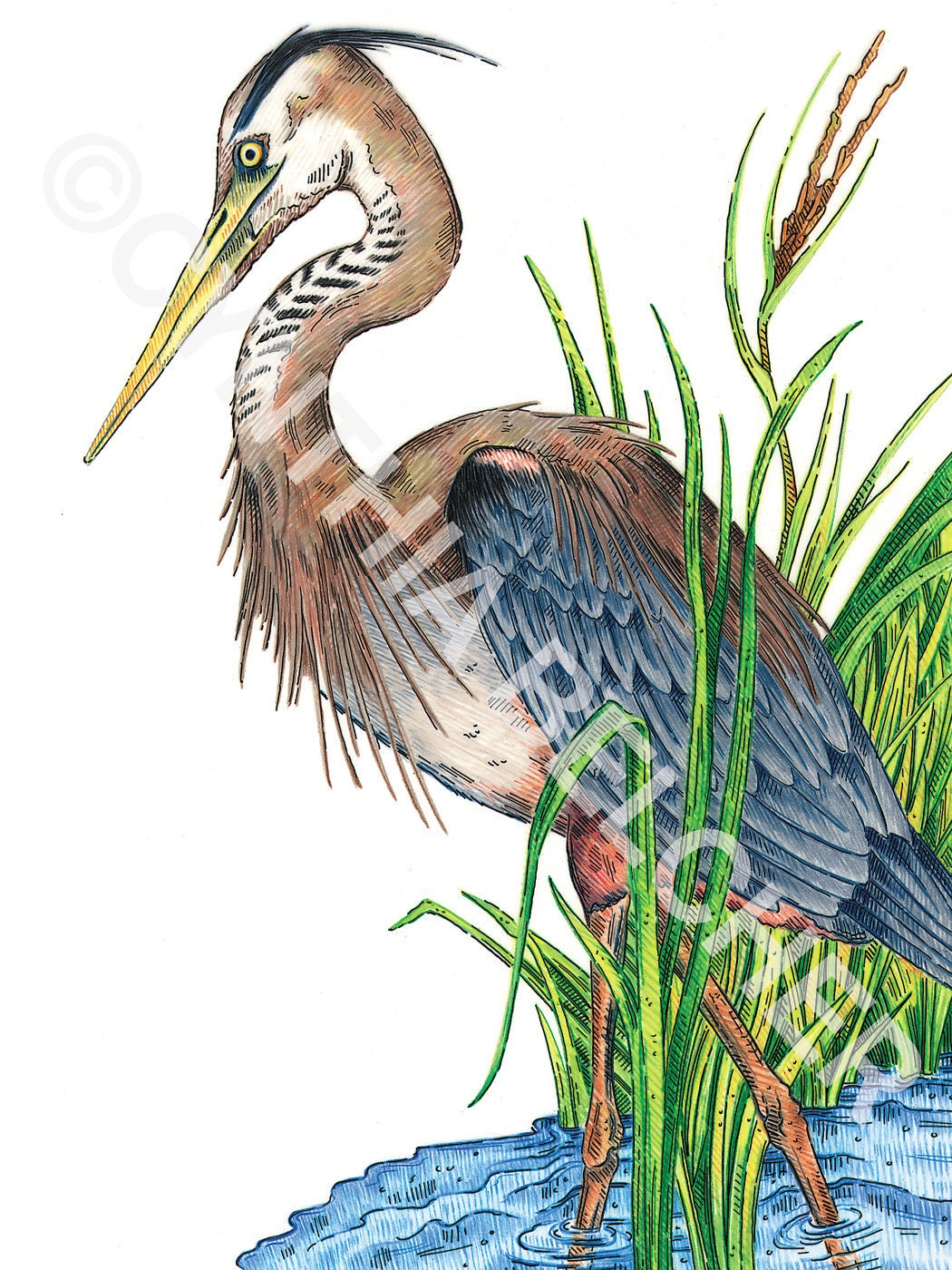 It is a graphic of Selective Great Blue Heron Drawing