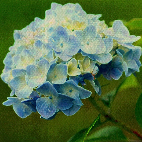 Flower Hydrangea Botanical Nature Blooms - 12 x 12 art print by Dawn Smith