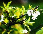 Nature photography, cherry tree, flower blossom, 4x6 art card