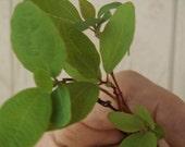 6 PK Beautiful Sassafras Albidum Tree Seedlings Root Beer Tree