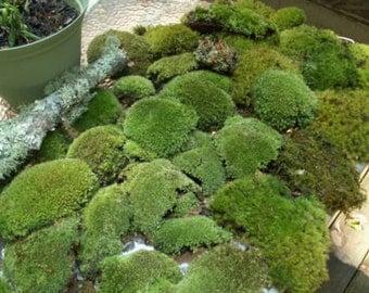 Super Mix Live Fresh Moss for Terrariums, Vivariums, Fairy Gardens, Moss Dish Gardens, Bath Mats