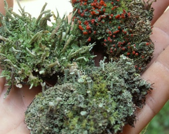 3 Pc British Soldier Pixie Cup Pityrea Cladonia Live Lichen Moss Combo Kit for Terrariums & Fairy Gardens