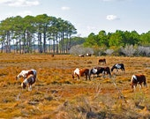 Chincoteague Ponies Nature Photography Greeting/Note Card or Photograph