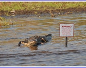 Alligator with Warning Sign Nature Photo Greeting/Note Card or Photograph