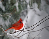 Northern Cardinal Nature Photo Greeting/Note Card or Photograph