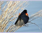 Red-Winged Blackbird Nature Photo Greeting/Note Card or Photograph