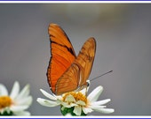 Julia Longwing Butterfly Nature Photo Greeting/Note Card or Photograph