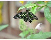 Tailed Jay Butterfly Nature Photo Greeting/Note Card or Photograph