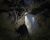 Great Egret-A Nature Photo Greeting/Note Card or Photograph