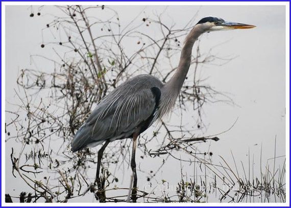 Great Blue Heron Nature Photo Greeting/Note Card or Photograph