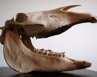 Vintage Horse Skull Upper and Lower Jaw