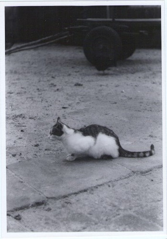 Vintage Photo - Neighborhood Cat