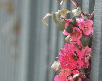 Quince blossoms -  fine art nature photography -  Cherry colored Quince blossoms peeking through a jade colored fence. 5x7