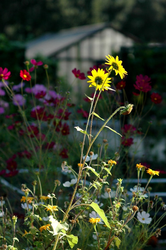 Sunlit Flowers -  fine art nature photography - yellow daisies in a garden in front of a green house.  8x12