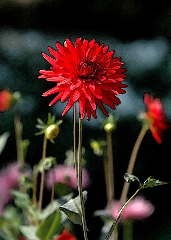 Red Starburst -  fine art altered photography - red starburst flower - wall decor .  5x7