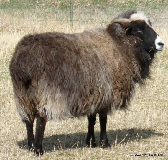 Raw Wool Fleece Navajo Churro sheep on Etsy