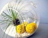 Yellow Filifolia Terrarium