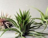Mixed Air Plant Assortment - Your Choice - THREE // Terrarium Supplies // Home and Garden