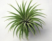 Single Ionantha Air Plant // Small to Medium