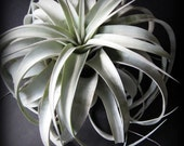 Large Xerographica // Air Plant