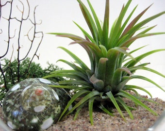 Spotted Turbo Air Plant Terrarium