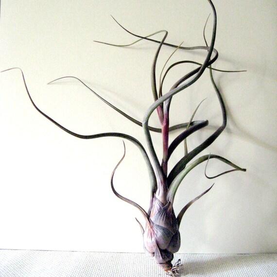 Tillandsia pseudobaileyi /// Air Plant