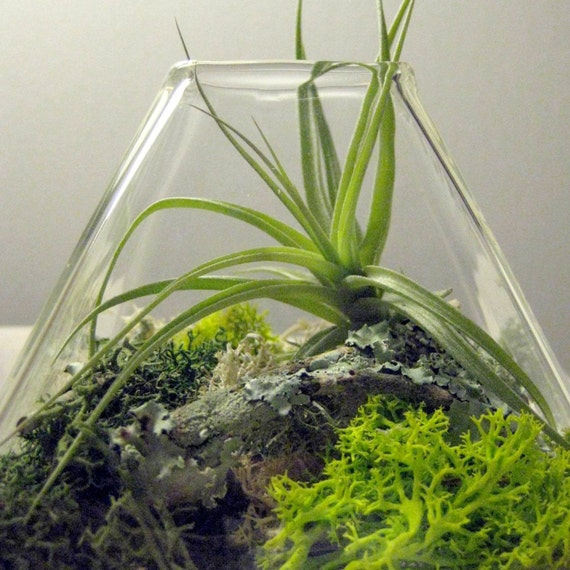 Medium Pyramid Tillandsia Terrarium // Air Plant Terrarium
