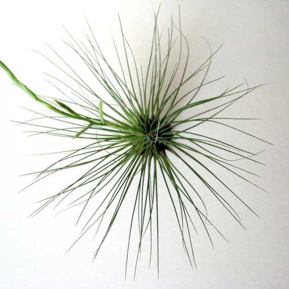 Tillandsia filifolia // Air Plant