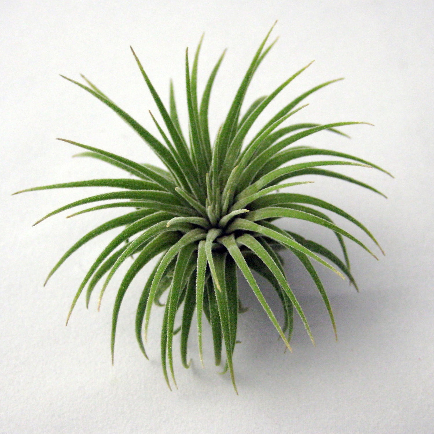 Single ionantha air plant small to medium for Air plant planters
