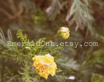Donation Item Nostalgic Yellow Daisies - 5x7 Print Photograph / Golden Summer Bud Bloom, Contemplative, Optimistic, Magical