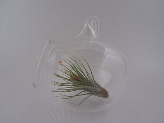 Hanging Glass Terrarium with Blooming Air Plant- 3 inch