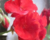 Summer Flower Photographs Red  White Geraniums, Painted  Geraniums, Symbolizes Home. America. Patriotic